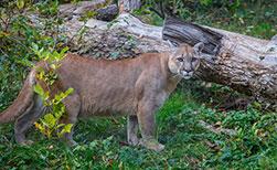Puma Kanada Tierwelt