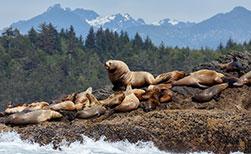Seelöwen und Robben in Kanada