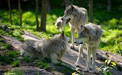 Wölfe in Kanada